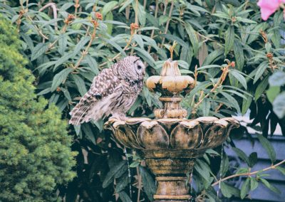 Barred Owl taking a dip in fountain
