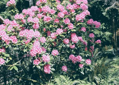 Dazzling Pick Rhododendron in full bloom