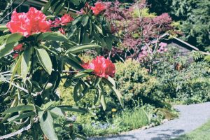 Red Rhodies in bloom